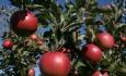 اندر حکایت مصائب باغداران سیب درختی  آذربایجان غربی
