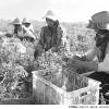 روزهای خاکستری کارگران فصلی