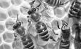 رتبه نخست کشوری آذربایجان غربی در تولید عسل