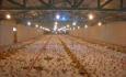 روش های حرفه ای برای افزایش راندمان تولید مرغ دراستان