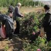برداشت گل محمدی در آذربایجان غربی آغاز شد