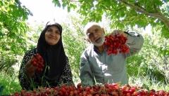 دستان تاولی و جیب خالی باغداران بعد از برداشت میوه