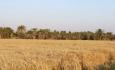 خرید تضمینی درمسلخ تاکتیک سیاه دولت مقابل کشاورزان