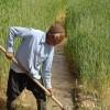 دولت در پرداخت مطالبات کشاورزان تخلف می کند