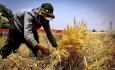 دسترنج کشاورزان نباید به جیب دلالان برود
