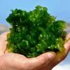 جلبک «دونالیلا» در دریاچه ارومیه کاهش یافت