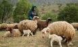 تولید سالانه ۱۶۰۰۰ تن گوشت قرمز توسط عشایر آذربایجان غربی