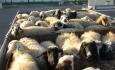 عامل گرانی گوشت در آذربایجان غربی قاچاق دام به کشورهای همسایه است