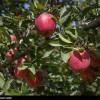 آذربایجان غربی علی رغم قطبیت تولید سیب مجبور به  واردات این محصول است