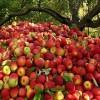 شبکه توزیع سیب آذربایجان غربی با مشکل مواجه است