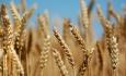 خودکفایی در تولید گندم امسال نیز تکرار می شود