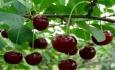 ۱۳۰۰ تن گیلاس از باغات شهرستان اشنویه برداشت می شود