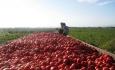 گوجه فرنگی آذربایجان غربی در سایه غفلت مسئولان نصیب دام ها شد