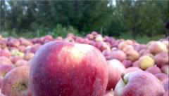 دپوی سیب در سردخانه های آذربایجان غربی ۲برابر افزایش یافته است