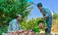 ۱۷۰هزار تن میوه هسته دار تابستانه در آذربایجان غربی برداشت می شود