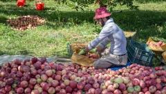 سهم ناچیز سیب آذربایجان غربی در سبد صادرات