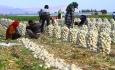 کشاورزی قراردادی، راهحل اقتصاد ایران است