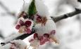 باغات آذربایجان غربی از برف و سرما تا ۹۰ درصد خسارت دیده است