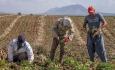 بیش از ۷۵ درصد مطالبههای چغندرکاران در آذربایجانغربی پرداخت شد